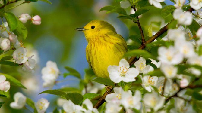 Apple Blossom Bird Ylw (2016_05_14 02_02_56 UTC)