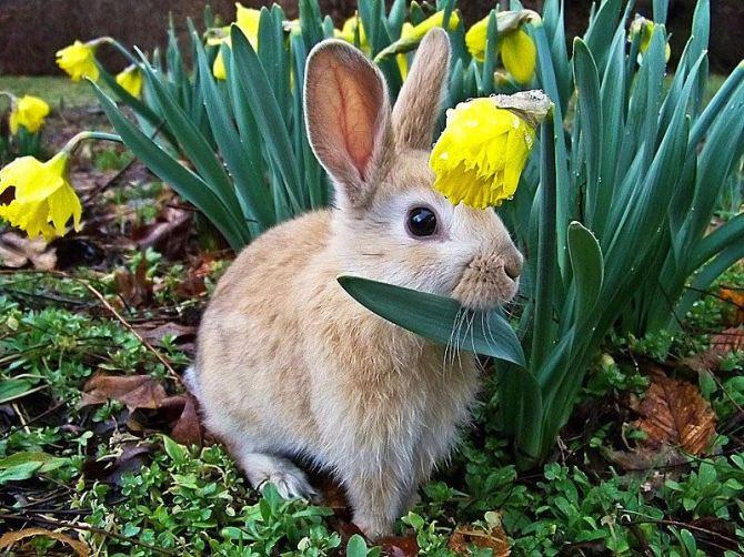 Bunny in Daffodils (2016_05_14 02_02_56 UTC)