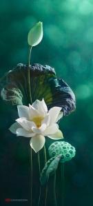 Lotus teal